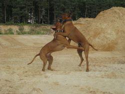 j-Unsere Rhodesian Ridgebacks spielen in der Sandkuhle, Bandele Bathani und Actor Aartijn.
