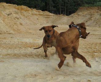 Sandkuhlenimpressionen - Unsere Rhodesian Ridgebacks spielen in der Sandkuhle, Bandele Bathani und Actor Aartijn.