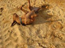 q-Unsere Rhodesian Ridgebacks spielen in der Sandkuhle, Bandele Bathani und Actor Aartijn.