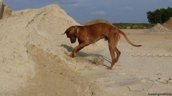 12ridgebacks im sand, schleswig-holstein, kennel tussangana mbey 'n, bettina höhfeld.