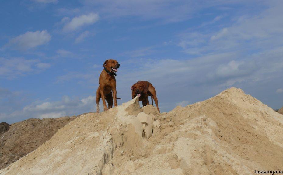 9ridgebacks im sand, schleswig-holstein, kennel tussangana mbey 'n, bettina höhfeld.