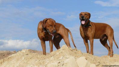 3ridgebacks im sand, schleswig-holstein, kennel tussangana mbey 'n, bettina höhfeld.