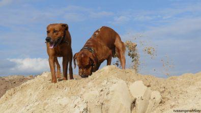 2ridgebacks im sand, schleswig-holstein, kennel tussangana mbey 'n, bettina höhfeld.