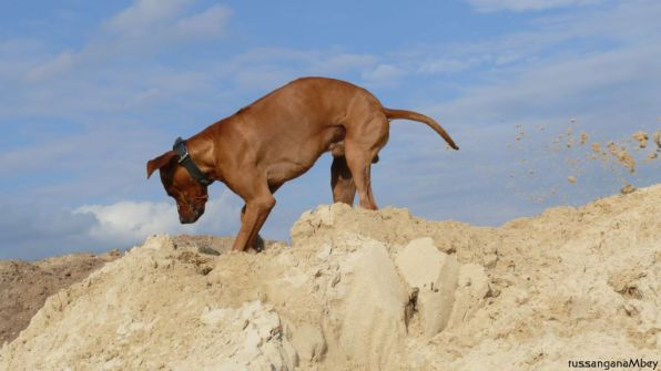 1-ridgebacks im sand, schleswig-holstein, kennel tussangana mbey 'n, bettina höhfeld.
