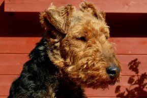 Welsh Terrier FCI