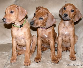 Ridgebacks from Harle River Anaya Fatou