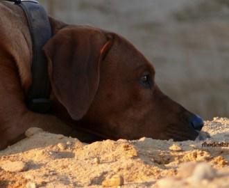 Rhodesian Ridgeback, Hund