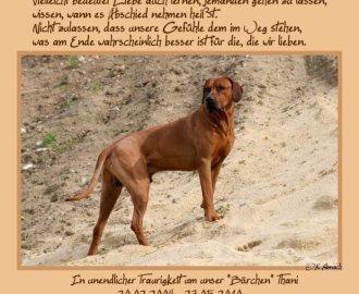 Thani, Bandele Bathanis Vater - RhodesianRidgeback-bb