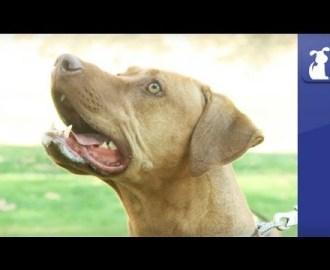Rhodesian Ridgeback - Doglopedia