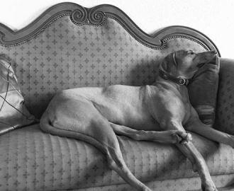 Unsere Rhodesian Ridgeback Hündin liegt faul auf dem Sofa und ruht sich aus! Kennel Tussangana mbey 'N Rhodesians- Merkmale des Hundehalters