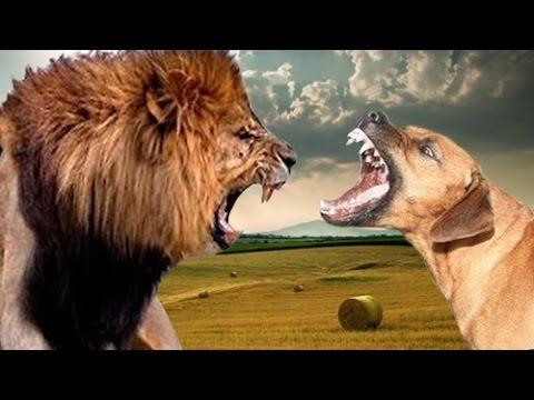 Rhodesian Ridgeback African Lion Dog - Tussangana mbey °N Rhodesian Ridgeback