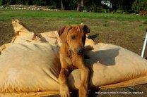 Rhodesian Ridgeback Welpen vom Züchter, Kennel Tussangana mbey 'N Rhodesian Ridgeback-5