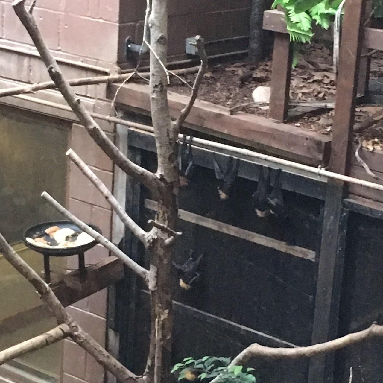 Bats at London Zoo
