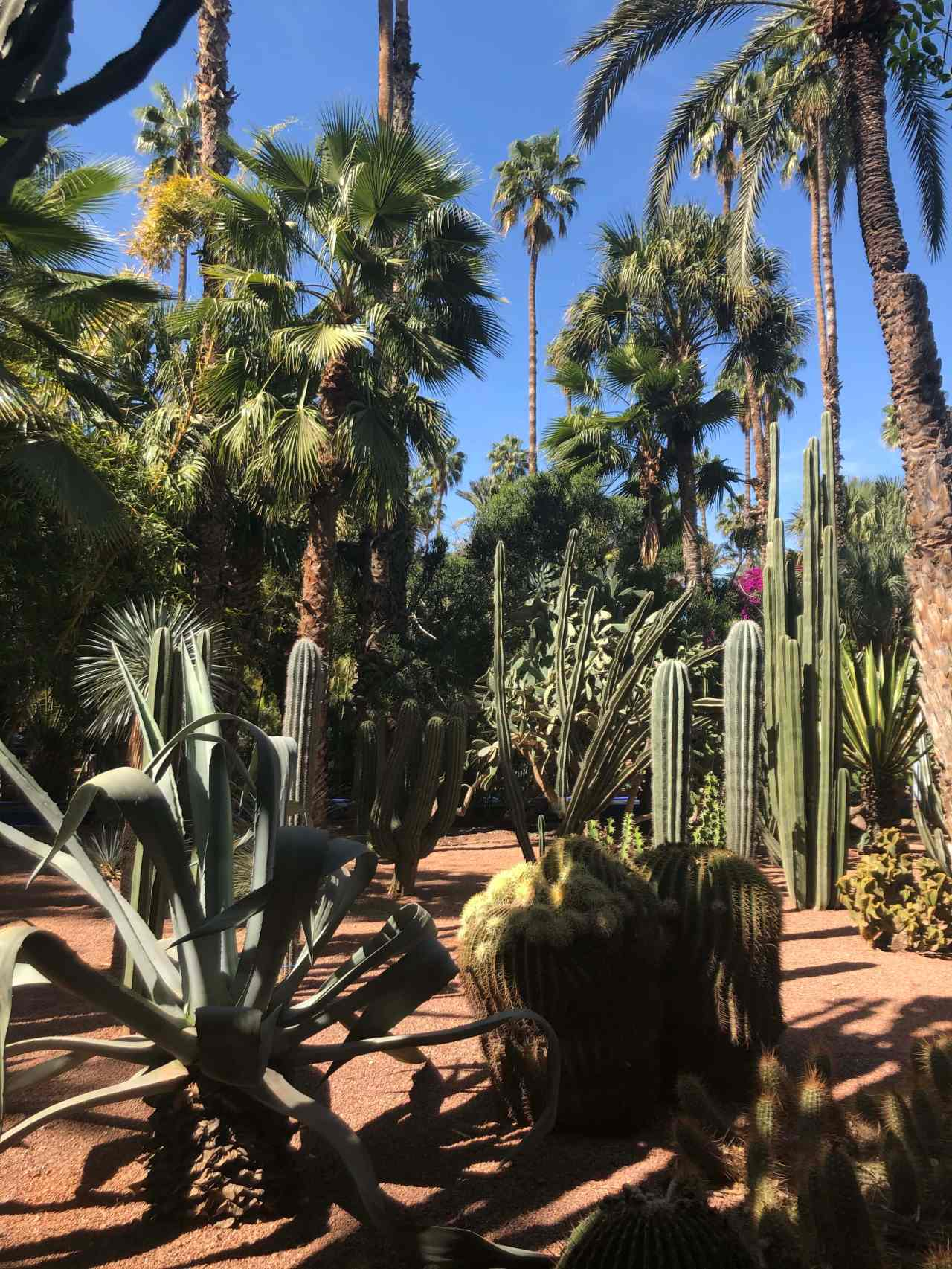 Multiple cacti at Le Jardin majorelle