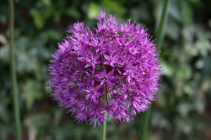 An allium flower head.