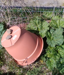 Rhubarb with a pot over it