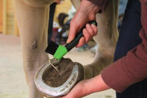 cleaning a horse hoof