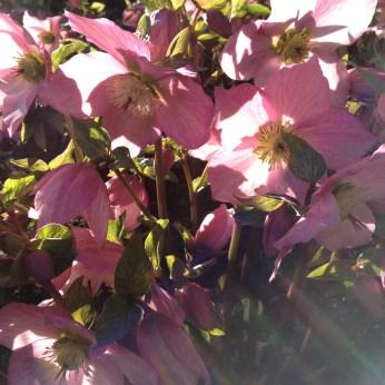 Pink hellebores