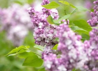 Ukraine lilac