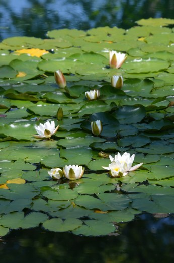 Lily pads in pond