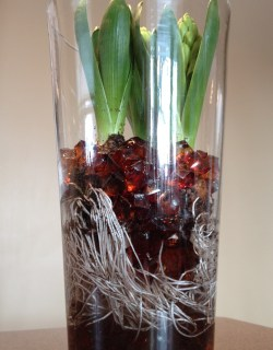 Vase filled with hyacinth bulbs and beads showing the roots.