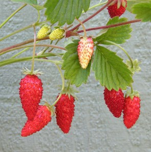 A close-up of alpine strawberries