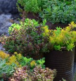 Rusty tin cans make rustic plant containers.