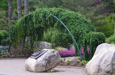 A weeping evergreen tree has been trained over an arbour