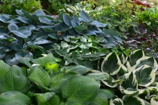 A group of hostas in a densely planted flower bed.