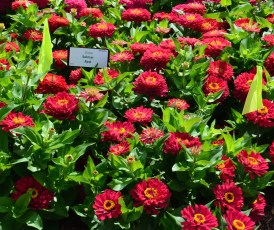 Bright red zinnias in a trial garden bed.