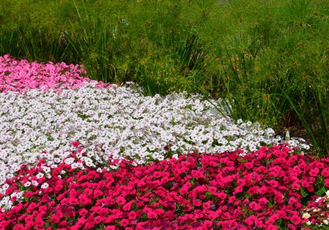 A bed of petunias in shades of pink from Proven Winners.