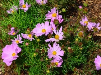 Pink flowered cosmos.