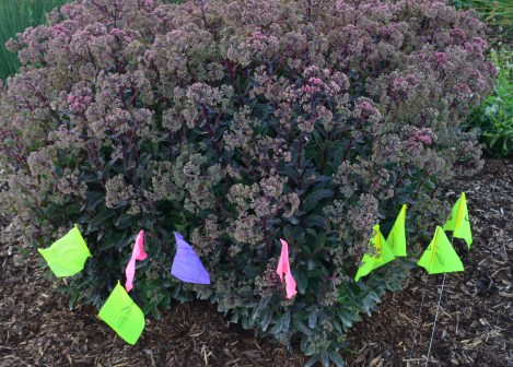 A sedum is awarded a variety of flags marking approval.