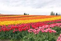 tulips-(12)