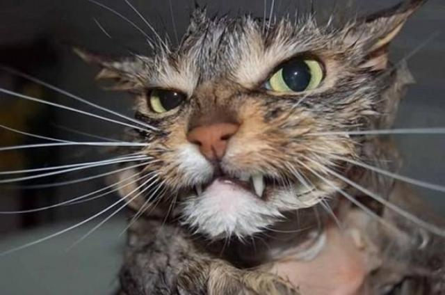 979462095-angry-wet-cat