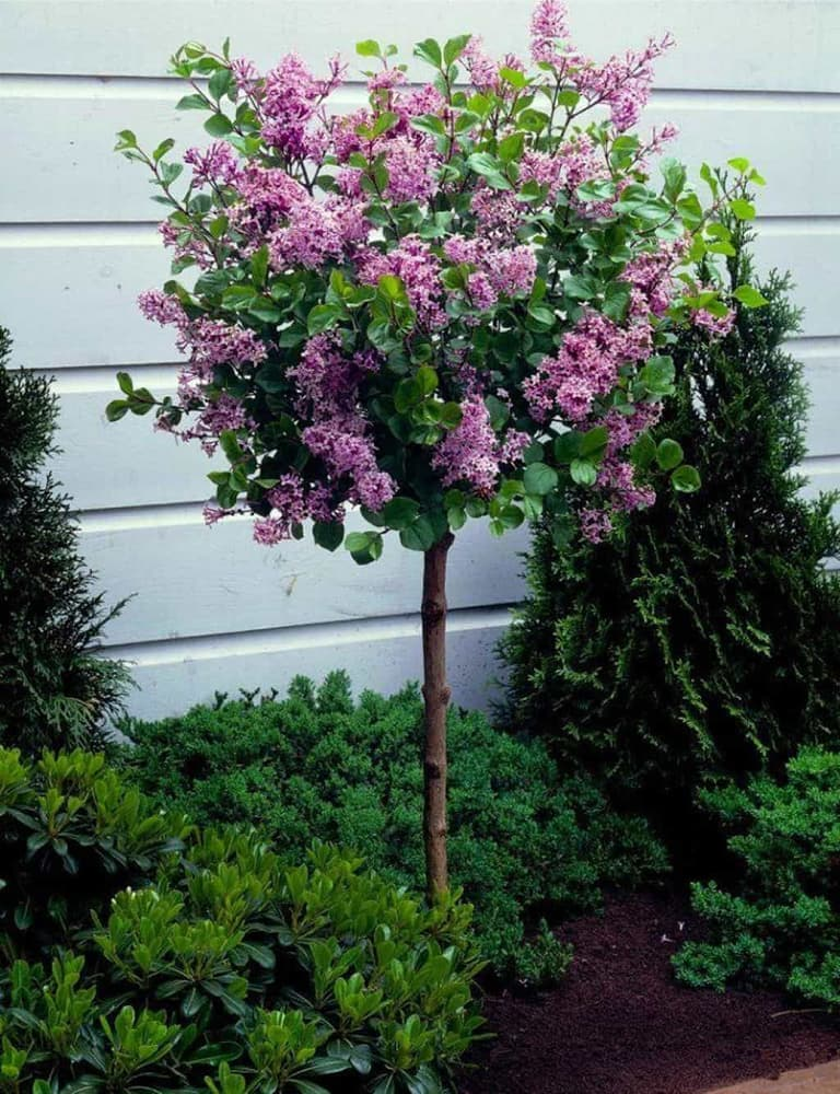 the 20 best patio trees rhythm of the