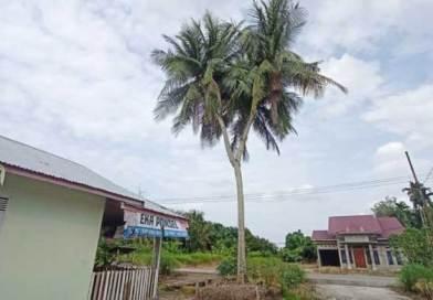 Pohon kelapa bercabang