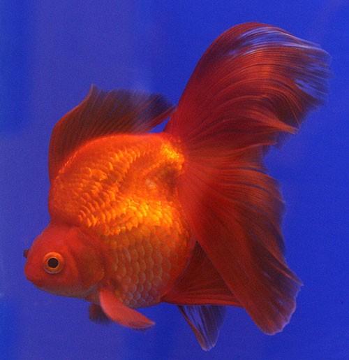 Аквариумная рыбка Вуалехвост: фото, содержание и кормление ...