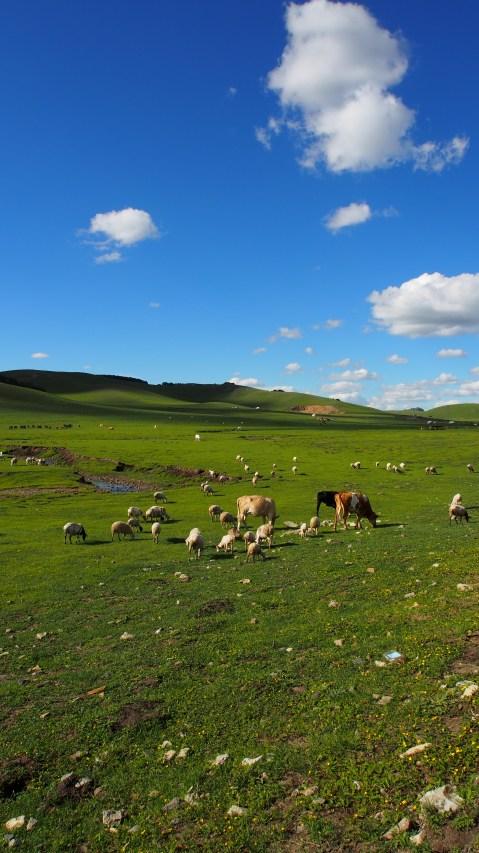 Herd of grazing cows.