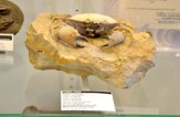 Fossilized Crab - Rice Northwest Rock and Mineral Museum.