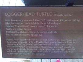 About the loggerhead