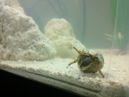 Walter the crab
