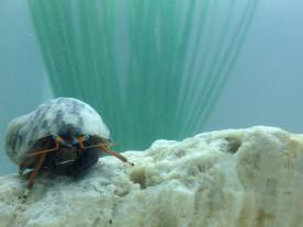 Walter, the hermit crab - photo by Andrea Greda
