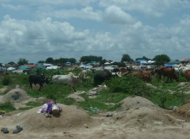 Cattle, from the market, through the cemetary (2)