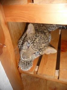 Leopard Cubs1