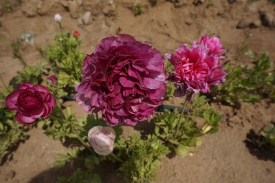 There are acres of Ranunculus being grown in all sorts of colors!