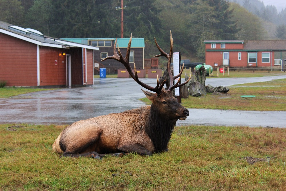HUMBOLDT NORTHERN COAST ELK