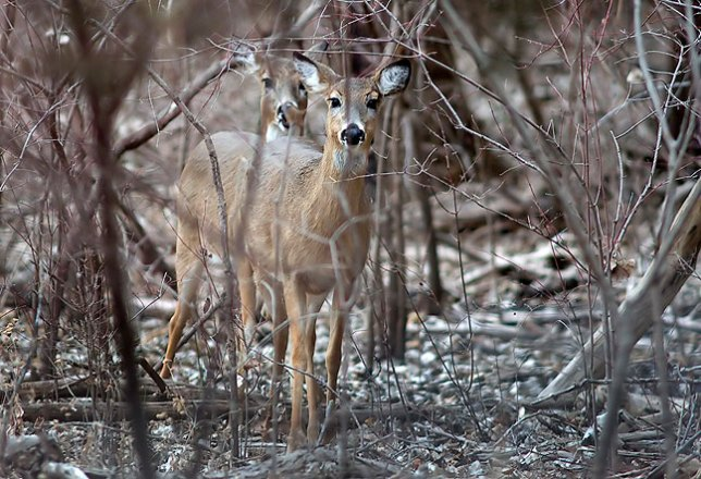Whitetail deer peer at us through the woods; I do very little wildlife photography on a daily basis, and it was fun to photograph these wild animals.