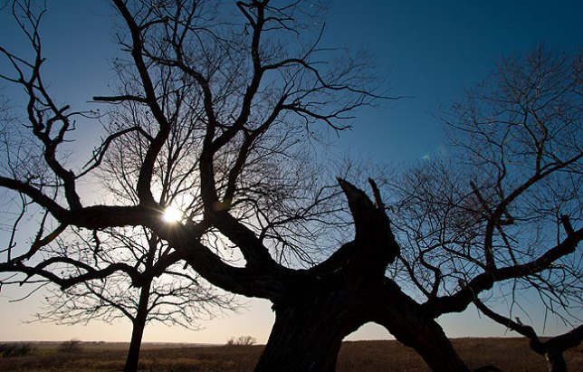 A tangled tree stands against a clear sky in the countryside near Ryan, Oklahoma, Sunday, January 19, 2014.