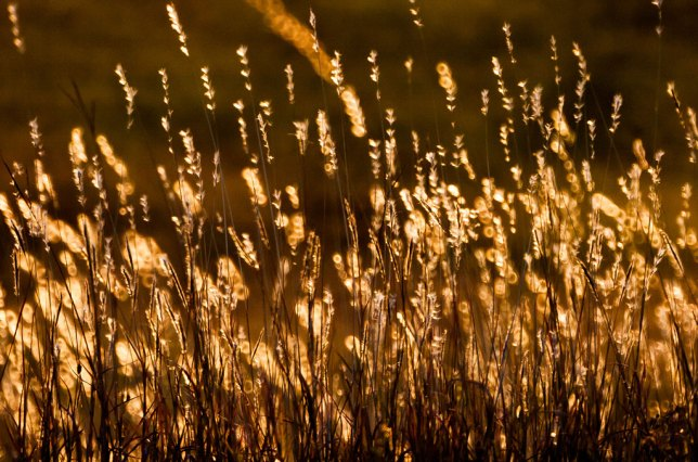 One of my first efforts with the Opteka 500mm was this wheat grass at sunrise. I found it ethereal and beautiful.